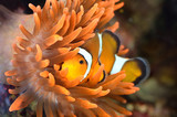 clownfish in marine aquarium - 48258707