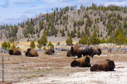 American Bison (Buffalo) in Yellowstone NP