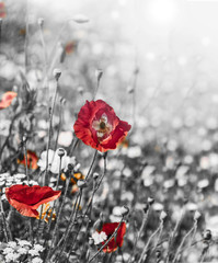 meadow with red poppies - monochromatic picture