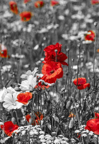 meadow with poppies -  monochrome picture