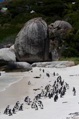 Pingouin de Boulders Beach près du Cap en Afrique du Sud