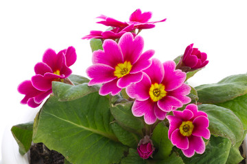 flower of Primula