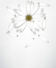 White daisy flower on white. Guessing concept.