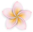 Pink plumeria (frangipani) flower.