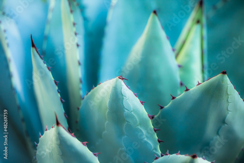 Deurstickers Cactus Sharp pointed agave plant leaves bunched together.