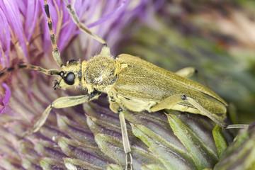 Lepturobosca virens on thistle, macro photo