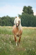 Beautiful palomino draught horse walking at the field