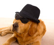 Dog as mafia gangster with black hat and sunglasses