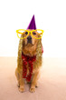Dog party dressed  purple hat and glasses