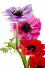 bunch of colorful anemone flowers