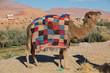 Camel in Africa