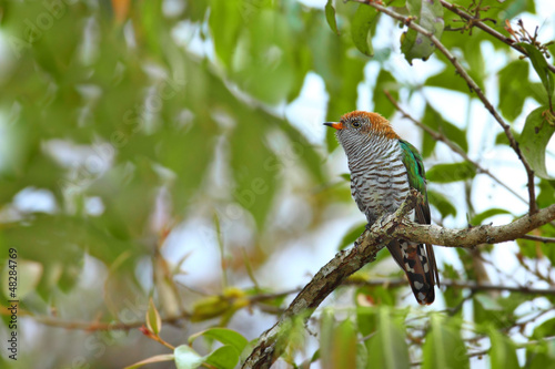 Asian emerald Cuckoo on branch at khaoyai,thailand
