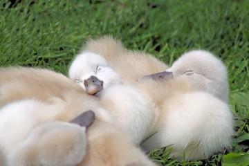 Baby Swans Sleeping