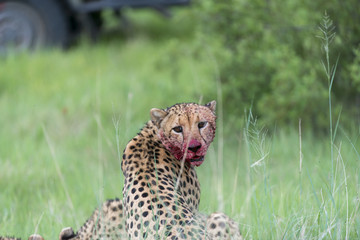 Cheetah with bloody face