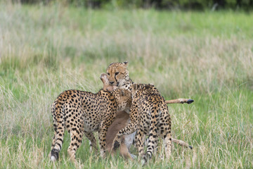 Cheetah's with a kill