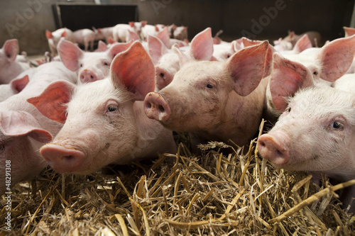 Piglets close-up