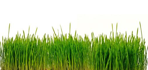 Grünes Gras, freigestellt wor weißem Hintergrund