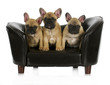 french bulldog litter