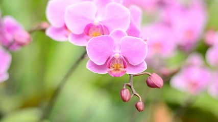 Pink orchid flower (Warin Falanenopsis)