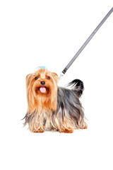Yorkshire Terrier an der Leine
