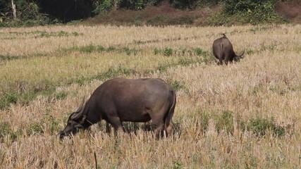 buffalo thai