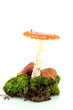 red amanita with moss isolated on white
