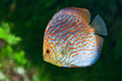 South American fish Discus 0
