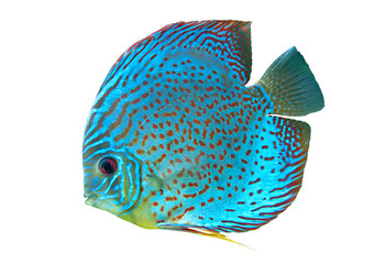 Blue spotted fish Discus
