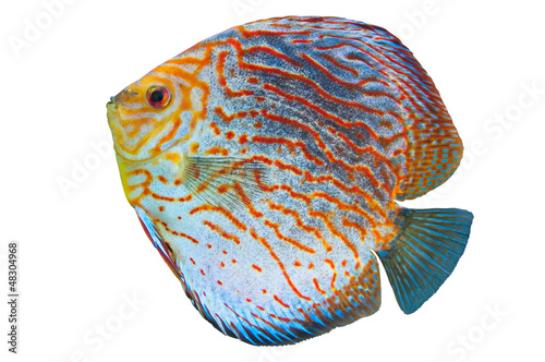 South American fish Discus 2