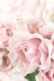 Pastel Pink Tea Rose - 48306197
