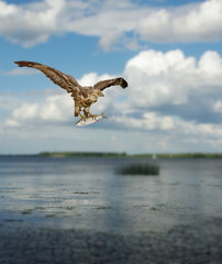 buzzard with fish