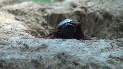 Cockroach trying to climb a rock