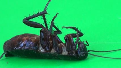 Cockroach lying on it's back