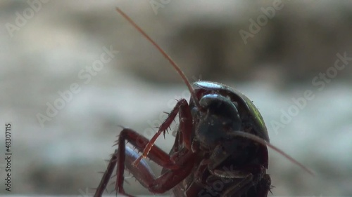 Close up of a standing cockroach