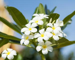 Franipani flowers