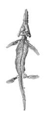 Prehistory Fossil - Ichtyosaurus (Lias)