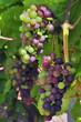grappe de raisin sur pied de vigne