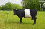 Belted Galloway Cow with distinctive white stripe poster