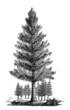 Prehistory : a Tree (Sphenophyllum)