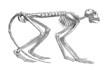 Monkey Skeleton - Miocene (Mesopithecus)