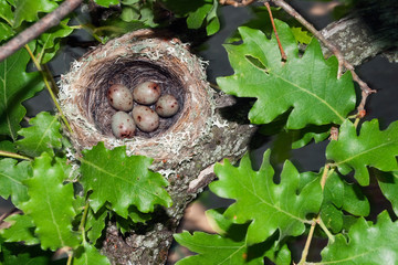 Chaffinch's bird nest on an oak's branch with five eggs.