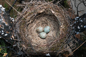 Mistle Thrush's bird nest on a tree with three eggs.