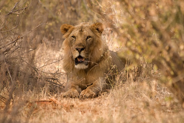 Lion, Amboseli national park