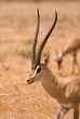 Male Gazelle Thompson