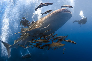 Whaleshark and scuba divers underwater