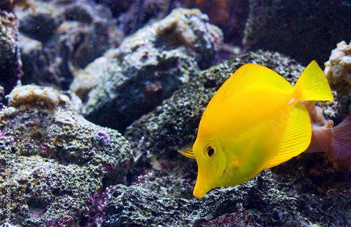 Yellow Tang or 'Zebrasoma Flavescens'