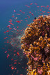 Red Anthias hovering over a coral