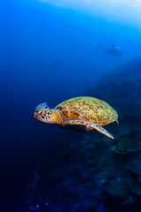 Green sea turtle moving under water in Malaysia