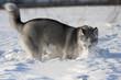 husky dog digs in snow