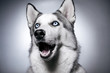 siberian husky studio photo